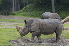 Rhinos i den Arnhem zooen Arkivfoton