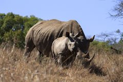 Rhinos royalty free stock images