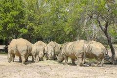 Rhinos in the jungle of Africa. Herd of rhinos in the savannas of Africa Stock Photo