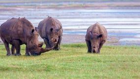 Rhinos in Kenya National Park. Rhinos graze on a green lawn in Kenya`s national park. Wild nature royalty free stock photos