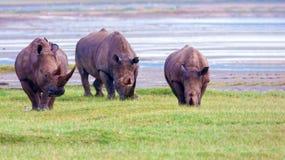 Rhinos in Kenya National Park. Rhinos graze on a green lawn in Kenya`s national park. Wild nature royalty free stock images