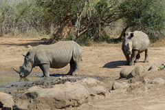 Rhinos In the Kruger National Park royalty free stock images
