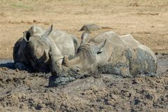 Rhinos In the Kruger National Park royalty free stock photos