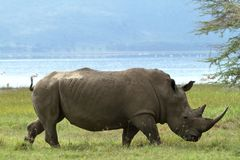 Rhinos in Lake Nakuru National Park in Kenya royalty free stock images