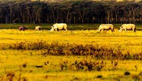 Rhinos in Masai Mara Royalty Free Stock Image