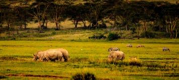 Rhinos in Masai Mara Stock Image