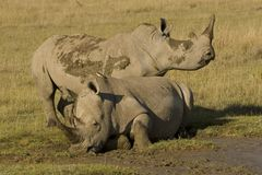 Rhinos in mud. White Rhino population is limited in Eastern Africa. This is taken in Nakuru National Park in Kenya. They like to play in mud Royalty Free Stock Image