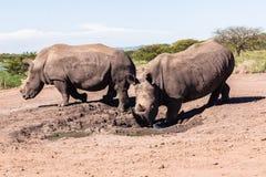 Rhinos Mud Wildlife Royalty Free Stock Images