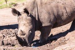 Rhinos Mud Wildlife Stock Photo