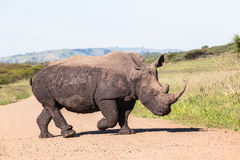 Rhinos Mud Wildlife Stock Photography