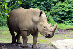 Rhinos-Nashorn Lizenzfreies Stockfoto