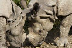 Rhinos no amor Imagem de Stock