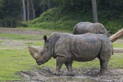 Rhinos no jardim zoológico de Arnhem Fotos de Stock