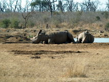 Rhinos in a park Stock Photo