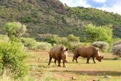 Rhinos que pastan Fotos de archivo libres de regalías
