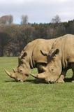 Rhinos que pastan Fotografía de archivo libre de regalías