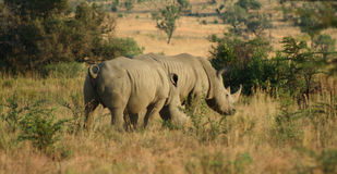 Rhinos, Südafrika Lizenzfreie Stockfotografie