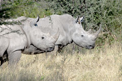Rhinos salvajes (rinoceronte) Imagen de archivo libre de regalías