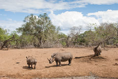 Rhinos in savannah Royalty Free Stock Photo