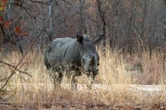 Rhinos in the savannah of Zimbabwe stock photography