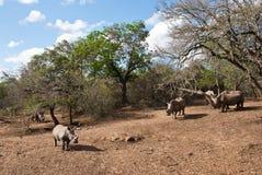 Rhinos selvaggi Fotografie Stock Libere da Diritti
