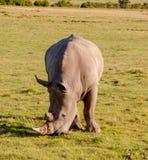Rhinos, South Africa stock photo