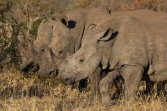 Rhinos standing together stock photos