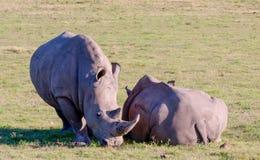 Rhinos, Sudafrica Fotografia Stock Libera da Diritti