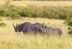 Coppie i rhinos sopra in masai Mara Fotografie Stock