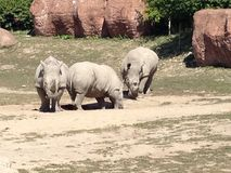 Rhinos. At Toronto zoo Royalty Free Stock Photo