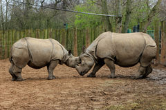 Rhinos Royalty Free Stock Image