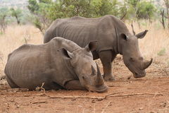 Rhinos. Two Rhinos resting in an open area making them a target for poachers royalty free stock image