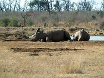 Rhinos in una sosta Fotografia Stock