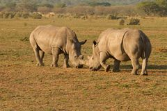 Rhinos w Afryka Obrazy Royalty Free