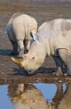 Rhinos w jeziornym nakuru, Kenya zdjęcia stock