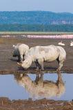 Rhinos w jeziornym nakuru, Kenya fotografia royalty free