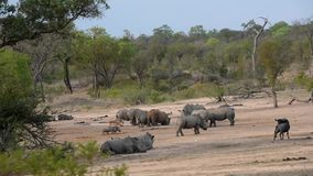 Rhinos, warthogs, impalas and gnus drinking together stock video