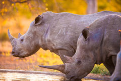 Rhinos at watering hole Stock Image