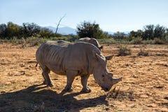 Rhinos in the wild. Royalty Free Stock Photos
