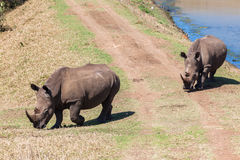 Rhinos Wildlife Waters  Royalty Free Stock Image
