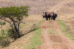 Rhinos Wildlife Bank Crossing Stock Image