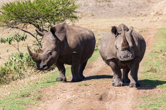 Rhinos Growl Snorts Royalty Free Stock Images