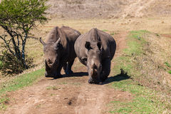 Rhinos Wildlife Straight-On. Young Rhinos head straight on path at camera position Stock Photos