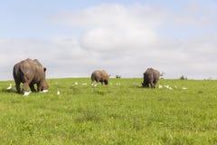 Rhinos Wildlife Royalty Free Stock Images
