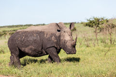 Rhinos Wildlife Royalty Free Stock Images