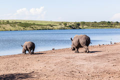 Rhinos Wildlife Royalty Free Stock Photography