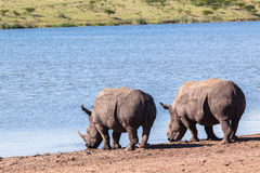 Rhinos Wildlife Royalty Free Stock Photo