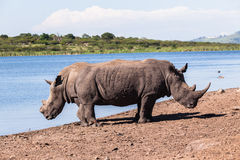 Rhinos Wildlife Stock Images