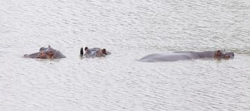 Rhinos zanurzający w wodzie fotografia stock