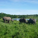Rhinos. In Zimbabwe, rhinos and a river royalty free stock image